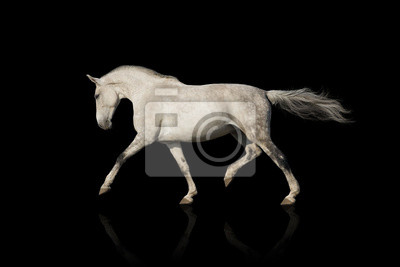 Wall mural Whiter horse isolated on black background
