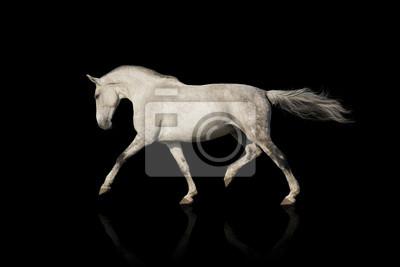 Whiter horse isolated on black background