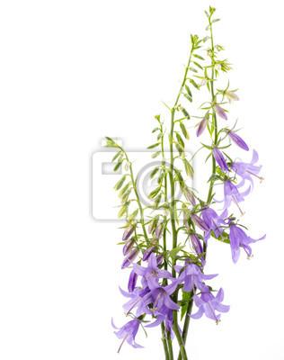 wild bellflower Campanula trachelium on a white background