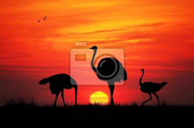 Wild ostriches at sunset