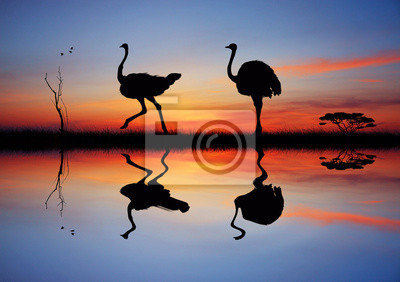 Wall mural Wild ostriches at sunset