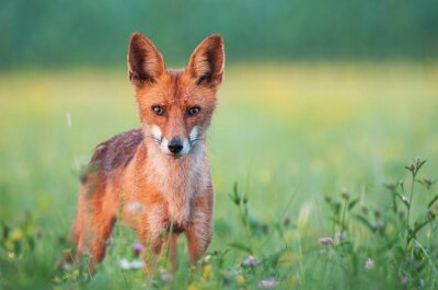 Wall mural Wild red fox looking at the camera