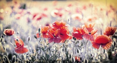 Wall mural Wild red poppy flowers in meadow - beautiful spring