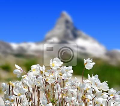 Wildflower on mountain meadow in the background mount Matterhorn. Pennine Alps,Switzerland.