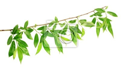 willow twig  with spring leaves