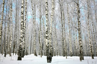 Wall mural Winter birch grove with covered snow branches