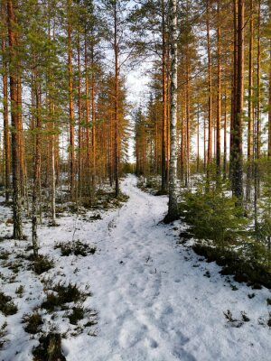 Wall mural Winter pine trees forest with snow in Finland