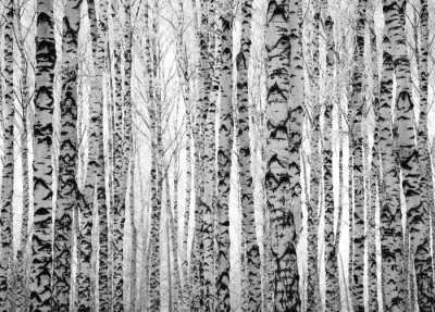 Wall mural Winter trunks birch trees