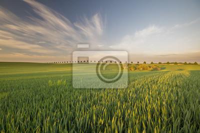 wiosenne pole obsiane młodym zbożem