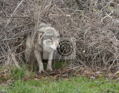 Wall mural Wolf Crawling Through the Underbrush