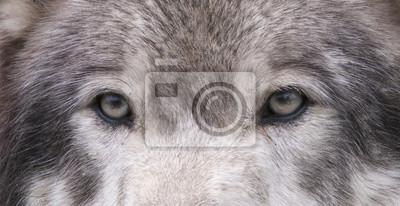 Wall mural Wolf Eyes