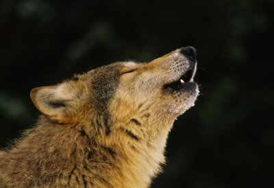 Wall mural Wolf Howling Portrait