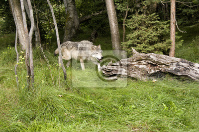 Wall mural Wolf in the Woods