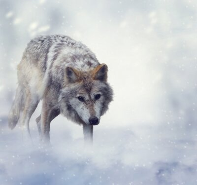Wall mural Wolf In Winter Time