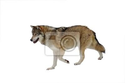 Wolf optional