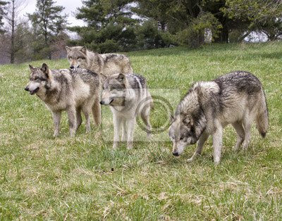 Wolf Pack in a Meadow