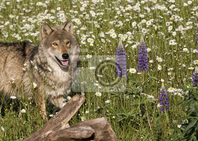 Wolf Portrait in Wildflowers