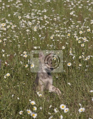 Wall mural Wolf Pup Portrait in Daisies