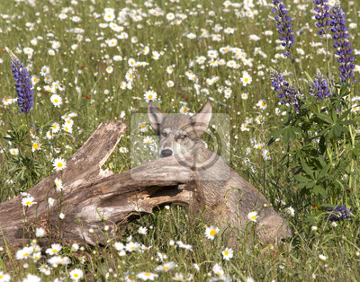 Wall mural Wolf Pup Posing in Wildflowers