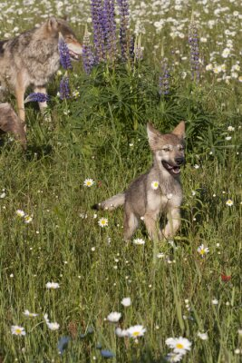 Wall mural Wolf Pup Running to Mom