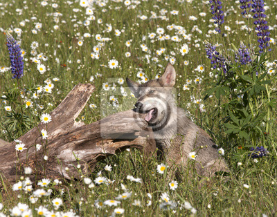 Wall mural Wolf Puppy in Daisies Chewing on a Log