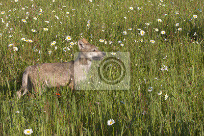 Wall mural Wolf Puppy in Wildflowers