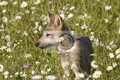 Wall mural Wolf Puppy Portrait in Wildflowers