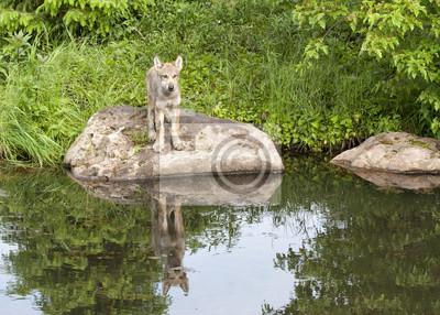Wolf Puppy Reflection in Quiet Lake