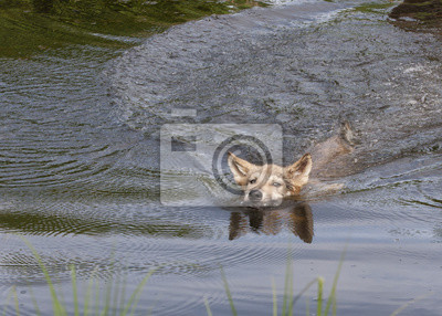 Wall mural Wolf Puppy Swimming Across a Lake