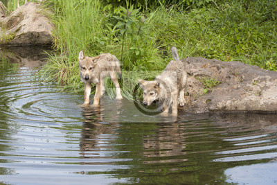 Wall mural Wolf Pups Playing in a Lake