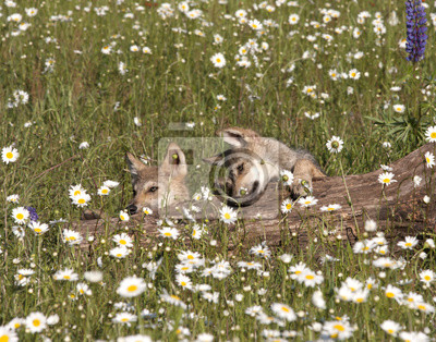 Wall mural Wolf Pups Playing in Daisies