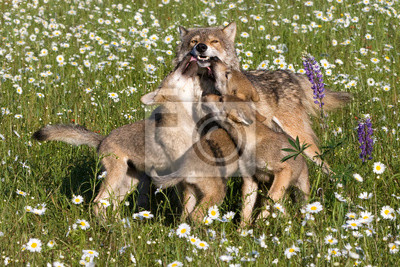 Wall mural Wolf Pups Playing with Mom