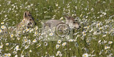 Wall mural Wolf Pups Running Through Daisies