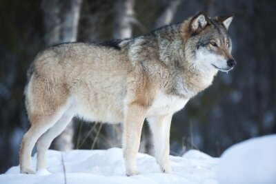 Wall mural Wolf standing in the cold winter forest