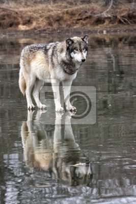 Wall mural Wolf Standing on Frozen Lake with Reflection Vertical