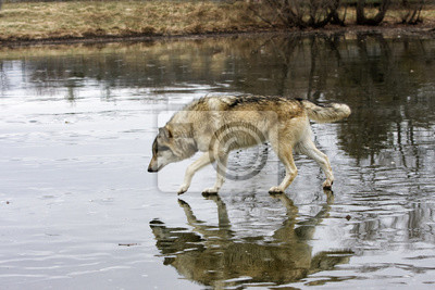 Wolf Walking on a Frozen Lake with Reflection