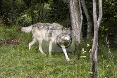 Wolf with Tip of Tongue Showing