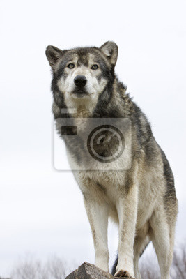 Wolf with White Background