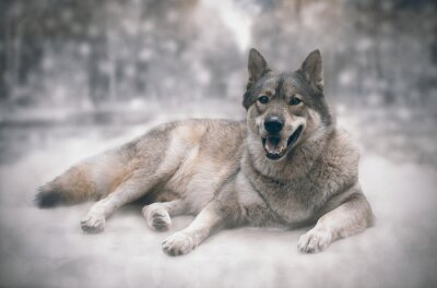 Wall mural Wolf/Happy of wolf on snow background.