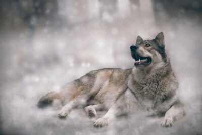 Wall mural Wolf/Nice wolf on snow background.