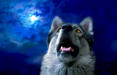 Wall mural Wolf/Wolf at night, select focus on eyes. Digital retouch.