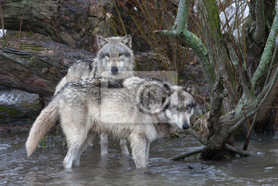 Wall mural Wolves Standing in a River