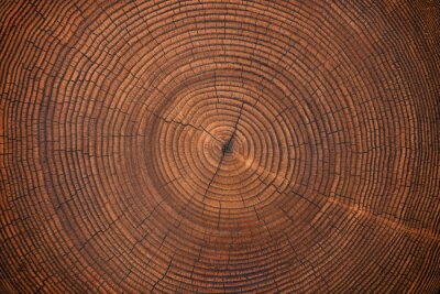 Wall mural wood texture of old stump. natural background of cut trunk with annual rings