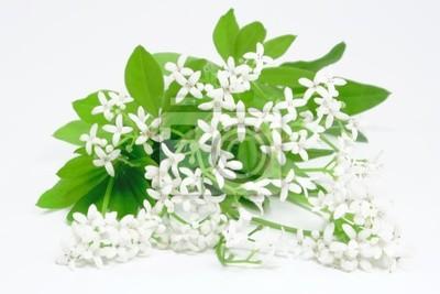 woodruff herb ( Galium odoratum )