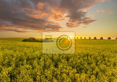 Wschód słońca nad polem kwitnącego rzepaku