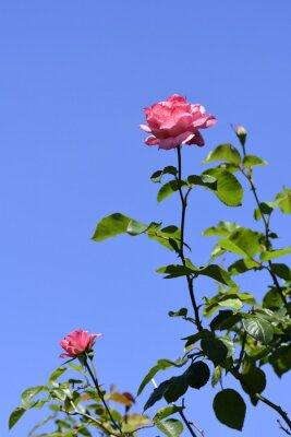 バラ,ローズ,青空