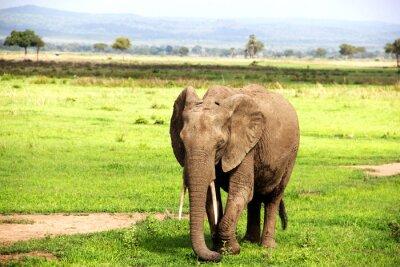 Wall mural Африканский слон