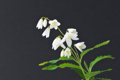 ウツギ・空木・白い花