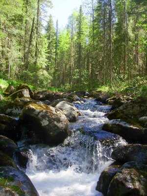 Wall mural The mountain river in the coniferous forest, Горная река в хвойном лесу