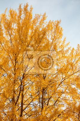 Yellow aspen tree foliage in golden sunlight close view